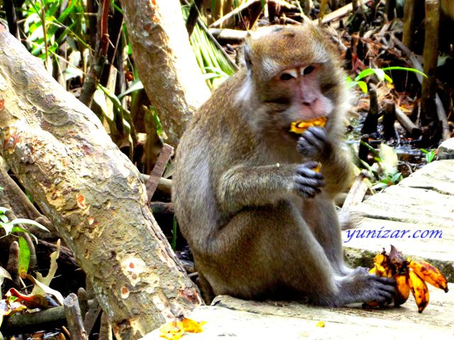 the long-tailed macaques (monkeys) Pulau Kembang (Flower Island)